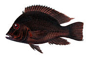 Geophagus obscurus