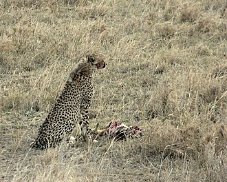 A cheetah with a Thomson's gazelle carcass. Cheetahs are one of the main predators of Thomson's gazelle. Gepard mit Thomson-Gazelle 2.jpg