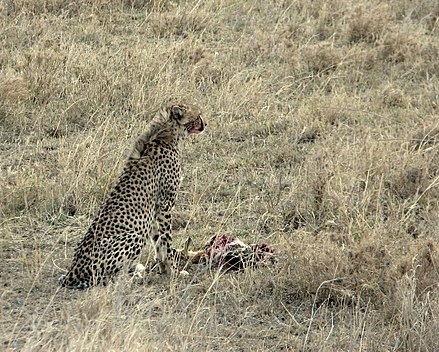 A cheetah with a Thomson's gazelle carcass. Gepard mit Thomson-Gazelle 2.jpg