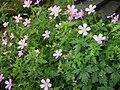 Geranium endressii001.jpg
