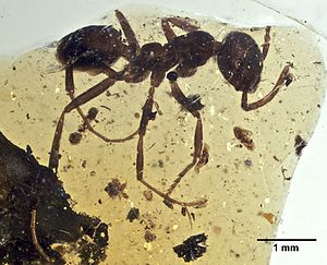 2008 in paleontology - G. occidentalis holotype