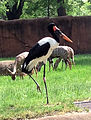 Gfp-saddle-billed-stork.jpg