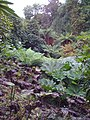 Giant leaves in jungle area of Helegan - panoramio.jpg