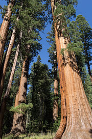 Giant sequoias in Sequoia National Park 02 2013.jpg