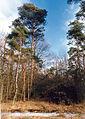 Giebelmoor Birkenbruch Kiefer.jpg