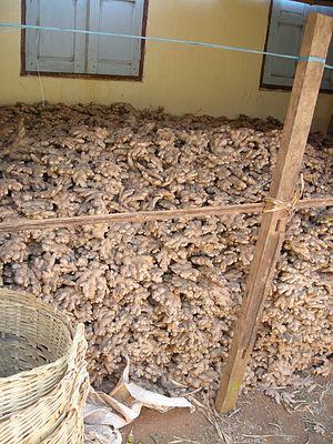 Ginger - Ginger crop, hills near Kalaw, Myanmar
