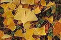 Ginkgo Tree Ginkgo biloba Fallen Leaves 3008px.jpg