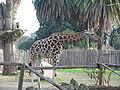 Giraffe bioparco3.jpg