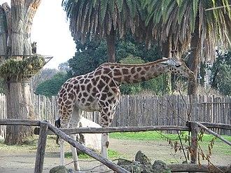 Bioparco di Roma - Image: Giraffe bioparco 3