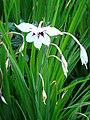 Gladiolus callianthus.JPG