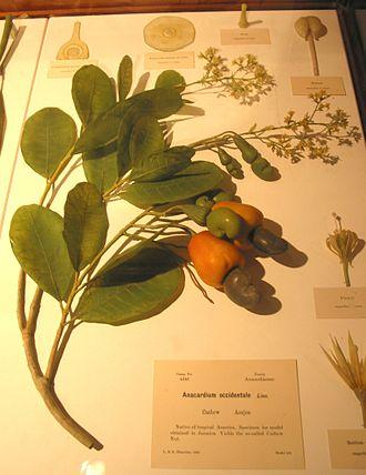 Glass Flowers - Blaschka glass model of part of a cashew tree