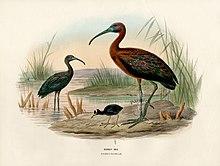 uccello trampoliere marrone lucido con becco lungo