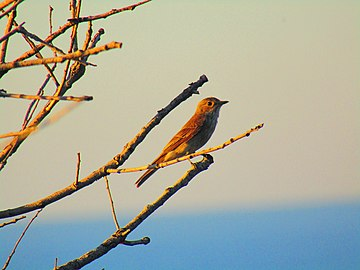 Gobemouche gris oiseau au coucher du soleil.jpg