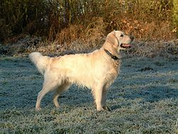 Golden Retriever Dukedestiny01.jpg