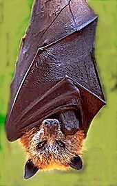 Golden crowned fruit bat.jpg
