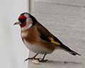 Goldfinch (3231268364).jpg