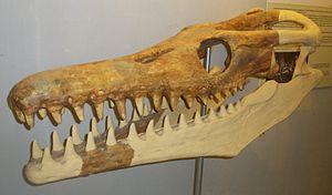Goronyosaurus - Restored skull