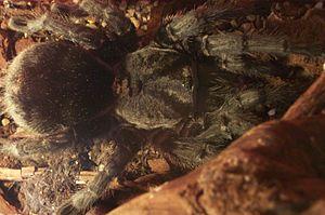 Grammostola pulchra - Image: Grammostola pulchra