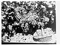 Grapes on a vine and picked grapes in a basket(GN11340).jpg