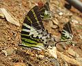 Graphium antiphates - Five-bar Swordtail 03.jpg