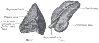 Suprarenal veins - Image: Gray 1183
