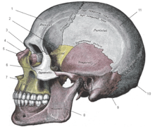 Gray188 skull left lateral index.png