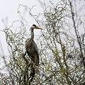 Gray Heron Ardea Cinerea In A Tree (110641427).jpeg