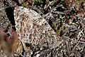 Grayling (Hipparchia semele semele) Greenham.jpg