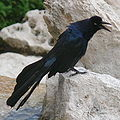 Great-tailed Grackle-27527.jpg