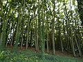 Great Wold Plantation - geograph.org.uk - 589428.jpg