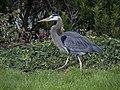Great blue heron (61246).jpg