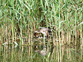 Great crested grebe, nesting (14377172111).jpg