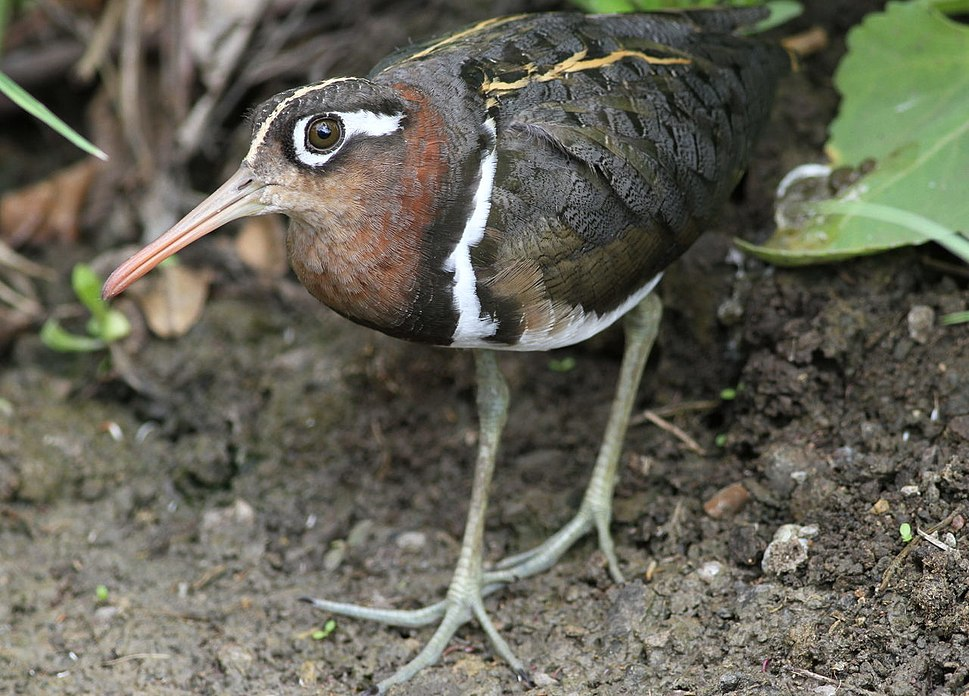 Greater Painted-snipe, Rostratula benghalensis - female (12366707985)