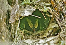The head of a bird is visible in a opening of a domed nest constructed of leaves and twigs