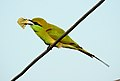 Green Bee-eater Merops orientalis feeding on Honey-bee by Dr. Raju Kasambe DSCN1640 (5).jpg