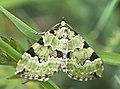 Green Carpet Moth (26308450114).jpg