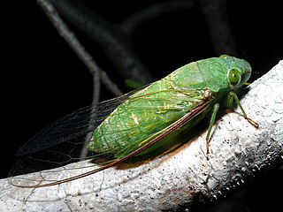<i>Dundubia</i> genus of insects
