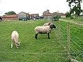 Gressenhall Farm - sheep pasture - geograph.org.uk - 1309769.jpg