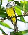 Grey Headed Canary Flycatcher (7090144899).jpg