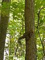 Griffy Woods - squirrel - P1100479.JPG