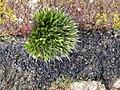 Grimmia pulvinata 107161033.jpg