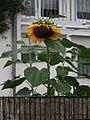 Große Sonnenblume August 2011.JPG