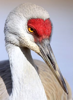 Sandhill crane - In British Columbia, Canada