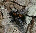 Gymnocheta viridis (Greenbottle Tachinid) - Flickr - S. Rae.jpg
