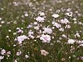 Gypsophila rosenschleier.jpg