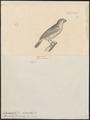 Gyrinorhynchus falcirostris - 1700-1880 - Print - Iconographia Zoologica - Special Collections University of Amsterdam - UBA01 IZ16000179.tif