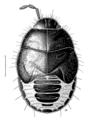 HEMI Cydnidae Philapodemus australis2.png