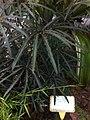 HK Central 香港動植物公園 Zoological and Botanical Gardens - tree 孔雀木 False Aralia C0218-7.jpg