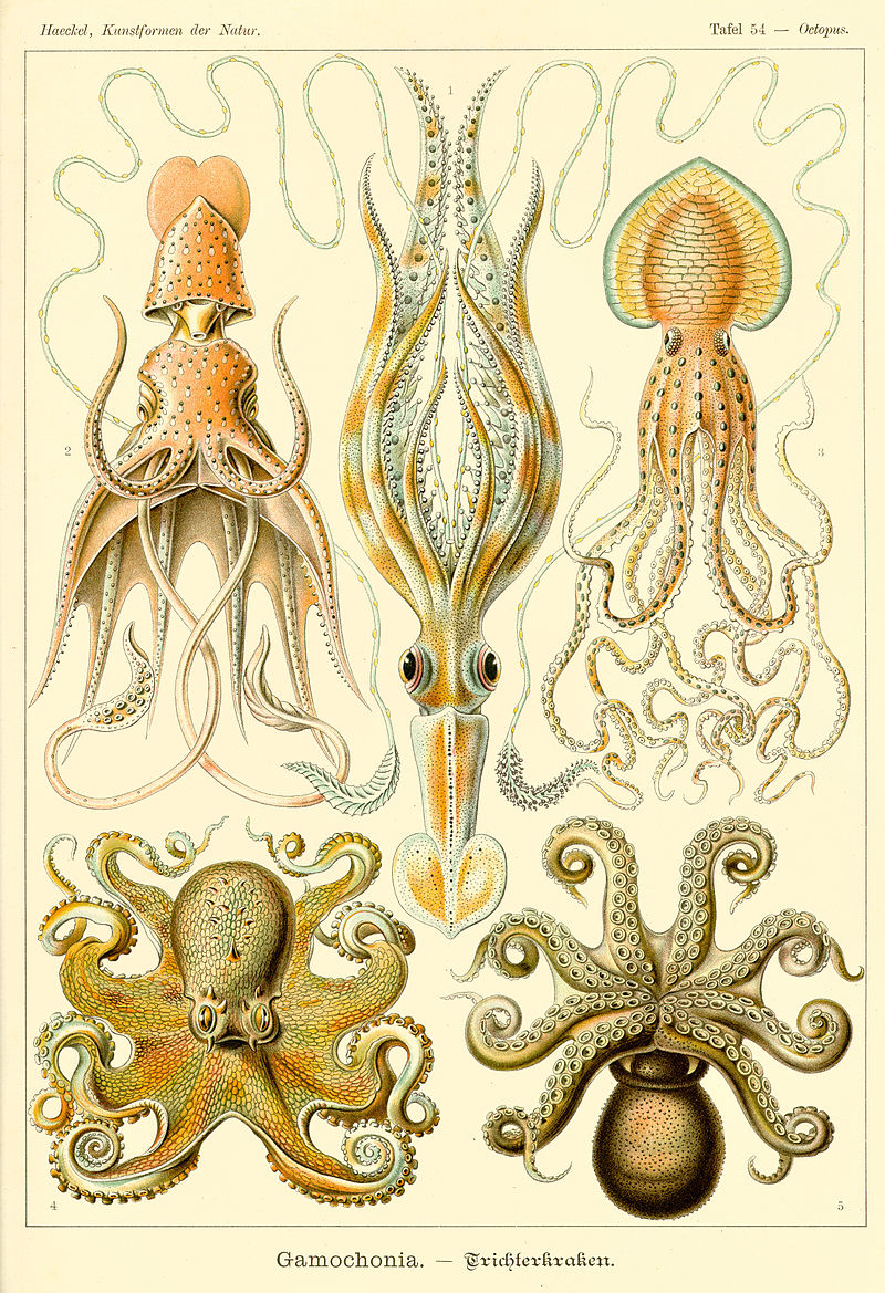 https://upload.wikimedia.org/wikipedia/commons/thumb/3/3f/Haeckel_Gamochonia.jpg/800px-Haeckel_Gamochonia.jpg