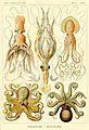 Haeckel Gamochonia.jpg